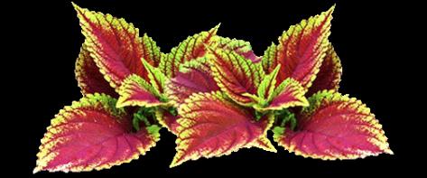 forskolin_plant